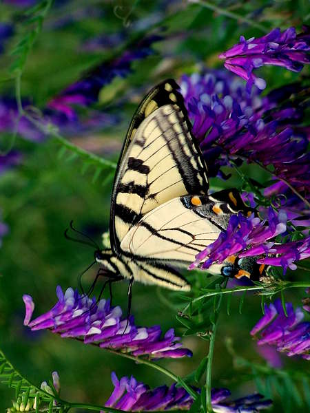 201-Tiger_Swallowtail