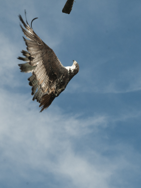 Hawk flying upside down to catch a treat.  How bad do you want it?